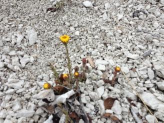Blumen im Kreidegestein auf Rügen entdeckt