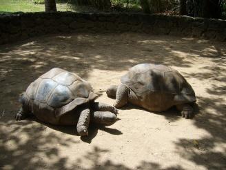 Mauritius - Riesenschildkröten beim Paaren