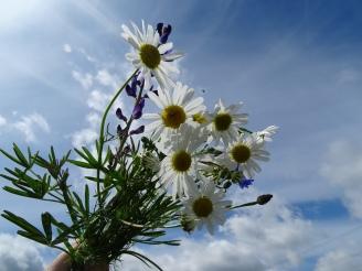 Feldblumen auf deutschen Inseln