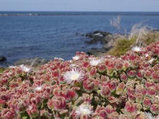 Lanzarote blüht - entdeckt von Ales Consulting International