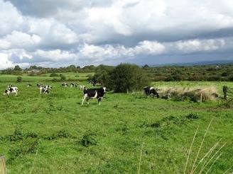 Typisch Irisch - Kühe auf der Weide