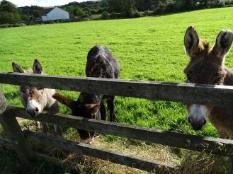 Tierisch Irland - Esel beim Roadtrip entdeckt