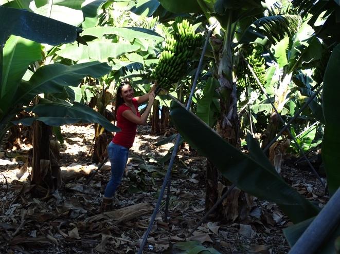 Bananenplantagen Check Nannette Neubauer La Palma