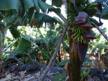 Bananenblüte und Frucht La Palma Kanaren