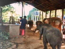 Elefanten Babys Sri Lanka