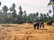 Elefanten in Sri Lanka