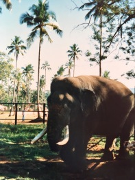 Sri Lanka Indischer Elefant