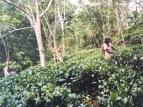 Sri Lanka Ceylon Tea Plantage Exkursion