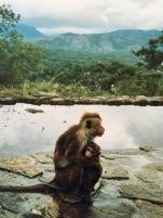 Sri Lanka Affenliebe