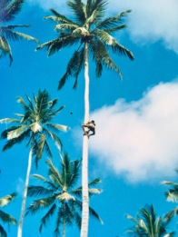 Sri Lanka Palmenkletterer