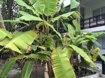 Malediven Bananen Plantagen