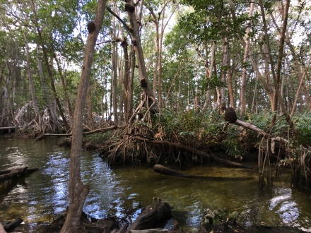 Mangroves Celestun