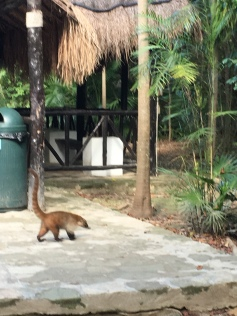 Coati - Tiere auf freier Wildbahn Mexiko