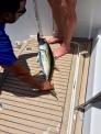 Gelbflossen Tuna - Fischfang Seychellen