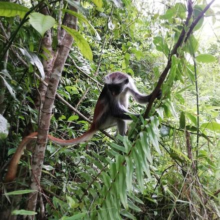 Jozani Forrest - Heim einer der seltensten Affenrassen Afrikas